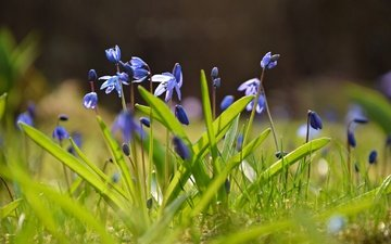 цветы, весна, боке, пролеска
