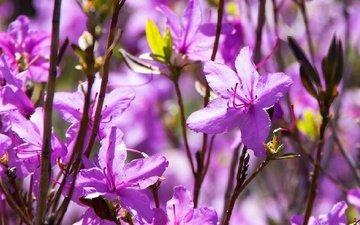 цветы, цветение, весна, азалия, рододендроны