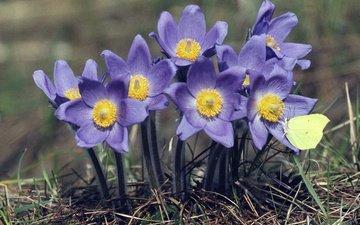 цветы, насекомое, бабочка, весна, сон-трава, прострел