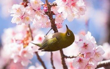 цветы, ветка, цветение, фон, птица, весна, сакура, белоглазка