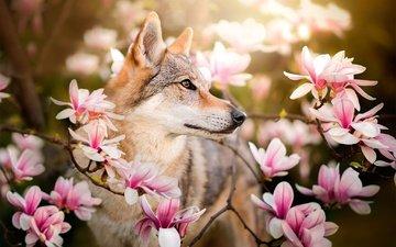 цветы, ветки, собака, весна, магнолия, dackelpuppy, чехословацкая волчья, чехословацкий влчак, chinua