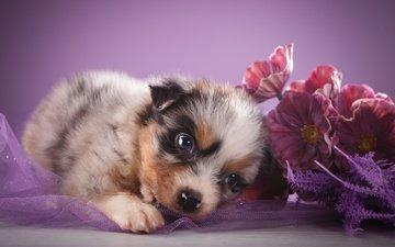цветы, взгляд, щенок, овчарка, австралийская овчарка