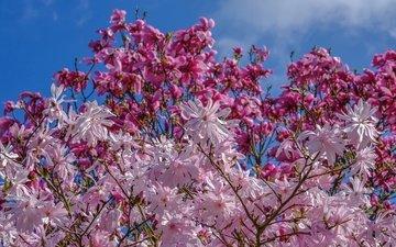 небо, деревья, цветение, весна, магнолия, jazzmatica