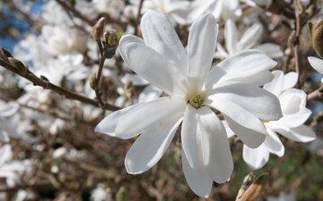 дерево, цветение, весна, магнолия