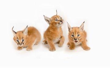wild cats, kittens, caracal, steppe lynx