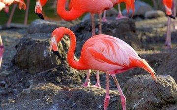 камни, фламинго, птицы, клюв, перья