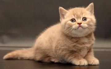 cat, look, kitty, baby, british shorthair