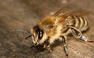 насекомое, крылья, усики, пчела, лапки, туловище