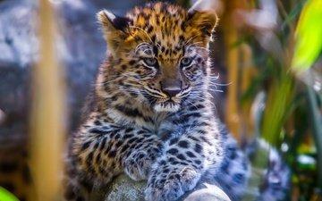 eyes, muzzle, look, leopard, cub