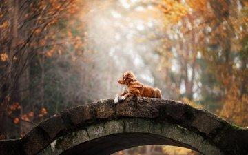 лес, парк, мост, осень, собака, золотистый ретривер, анна аверьянова