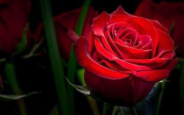 макро, цветок, роза, красная, темный фон