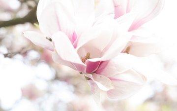 цветение, макро, весна, магнолия
