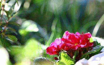 цветы, макро, весна, примула