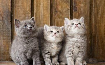 eyes, animals, muzzle, look, cats, kids, kittens, trinity