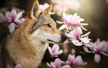 морда, цветы, ветки, собака, профиль, пес, магнолия, dackelpuppy, чехословацкая волчья, чехословацкий влчак, chinua