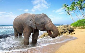 море, животные, песок, пляж, слон, пальмы, купание