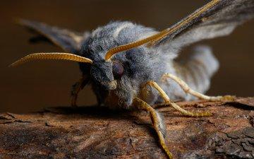 насекомое, бабочка, крылья, пух, мохнатый, лапки, мотылек, бражник тополёвый