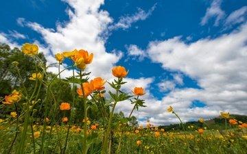 небо, цветы, луг, весна, лютики