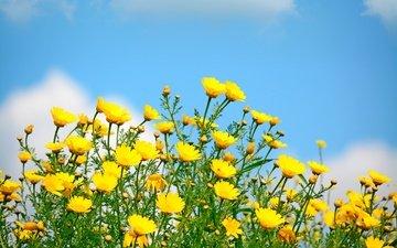 небо, цветы, солнце, поле, весна, желтые, полевые цветы