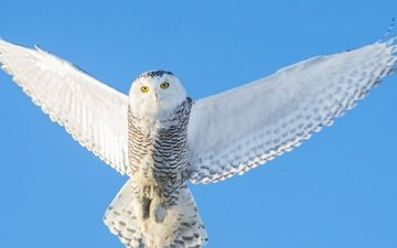 the sky, owl, flight, wings, bird, polar, white owl