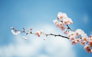 небо, ветка, дерево, цветение, весна, фокус