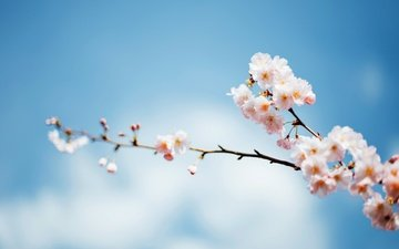 the sky, branch, tree, flowering, spring, focus