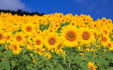 небо, цветы, листья, поле, лепестки, подсолнух, подсолнухи