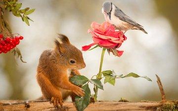 природа, цветок, роза, птица, ягоды, животное, белка, бревно, рябина, грызун, geert weggen