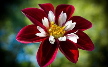природа, цветок, лепестки, георгин