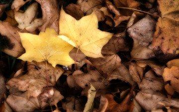 природа, листья, осень, клен