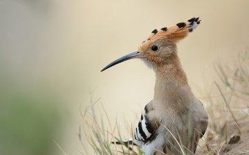природа, фон, птица, клюв, перья, удод