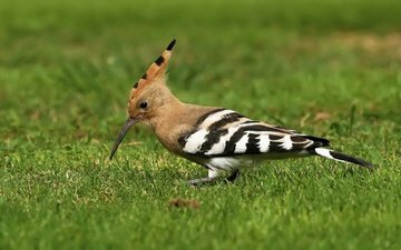 grass, birds, bird, beak, feathers, hoopoe