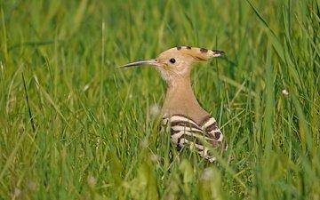 трава, птицы, птица, клюв, перья, удод