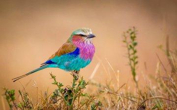 природа, фон, разноцветная, птица, птичка, сизоворонка, сиреневогрудая, flying rainbow