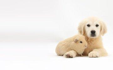 животные, собака, щенок, белый фон, золотистый ретривер, морская свинка, марк тэйлор