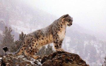 mountains, snow, rock, snow leopard, irbis, is
