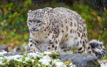 snow, animals, predator, snow leopard, irbis