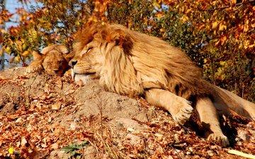 листья, осень, сон, спокойствие, отдых, львы, лев, грива, львёнок