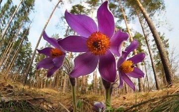 цветы, природа, фон, весна, сон-трава, прострел