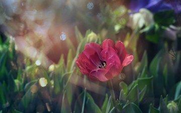 свет, цветы, трава, листья, размытость, мак, тюльпан