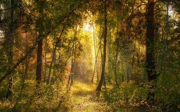 свет, лес, утро, тропинка, сосны, солнечные лучи, михаил msh