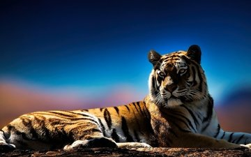 tiger, eyes, face, background, look, predator