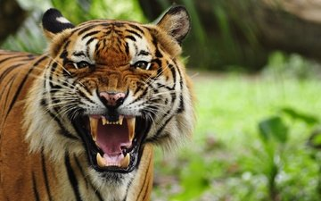 tiger, face, cat, rage, fangs, predator, mouth