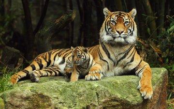 tiger, predator, stone, tigers