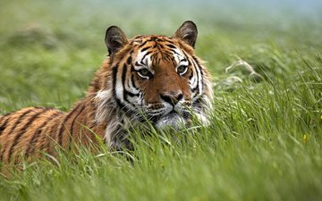 tiger, eyes, face, grass, nature, animals, look