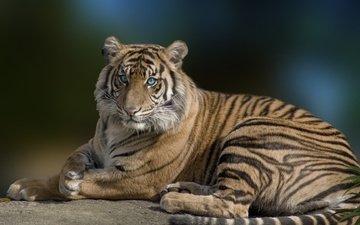 tiger, eyes, face, look, predator