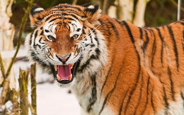 tiger, eyes, face, look, fangs, teeth