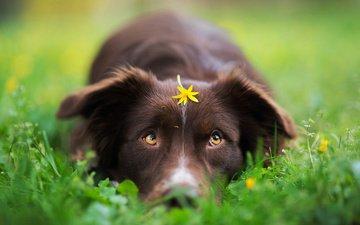 трава, цветок, собака, весна, бордер-колли, iza łysoń