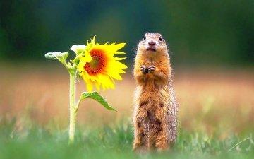 трава, цветок, подсолнух, животное, стоит, суслик