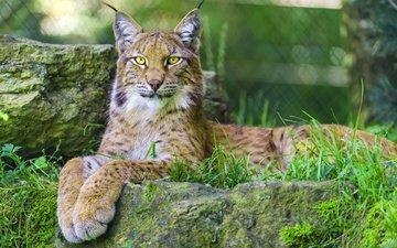 eyes, face, grass, lynx, look, wild cat